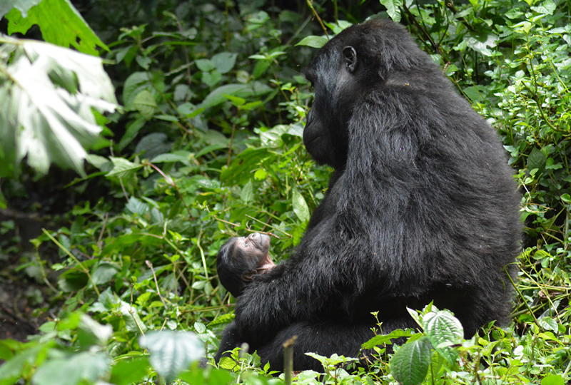 Baby mountain gorilla with mother in Bwindi Impenetrable National Park. Kwezi Outdoors tours and safaris to Uganda